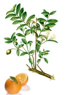 Gorzka pomarańcza jest jednym z najważniejszych składników witaminy C Colway